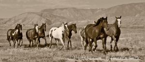 Photographing Wild Horses by Wyoming Photographer Amanda Smith